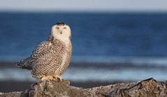 Snowy Owl photo by uropsalis