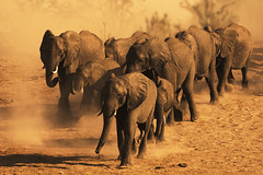 Elephants in dust photo by michaelrosenbaum
