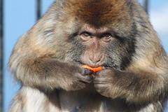 Gibraltar Monkey photo by Oscar von Bonsdorff