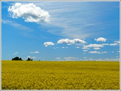 Yellow Field & Cotton sky