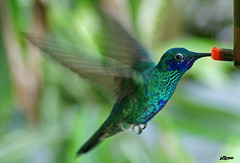 Blue & Green Hummingbird - colibrí photo by billcoo