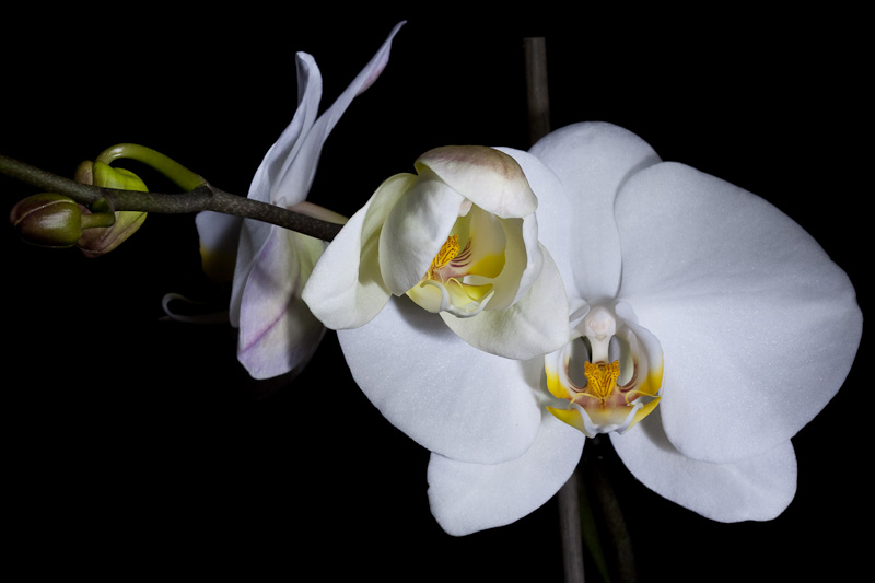 Праздник белой орхидеи