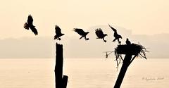 Osprey Flight Dynamics photo by dyoshida