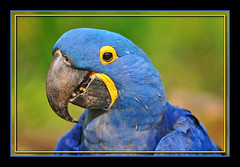 Hyacinth macaw photo by Tambako the Jaguar