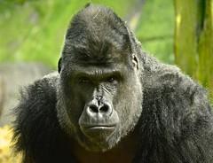 Silverback Gorilla photo by Ratsiola