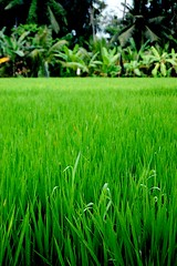 Rice Paddy photo by bkaryadi