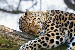 Leopard - Marwell Zoo photo by fatboydon