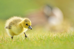 Canada Gosling at Clumber Park,Worksop. photo by Alan Hinchliffe