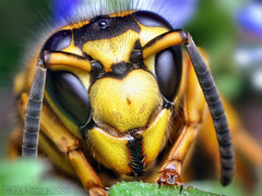Face of a Southern Yellowjacket Queen (Vespula squamosa) photo by Thomas Shahan