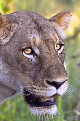 Lioness photo by Arno Meintjes Wildlife