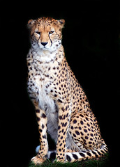 Cheetah on Black photo by Steve Wilson - over 5 million views Thanks !!