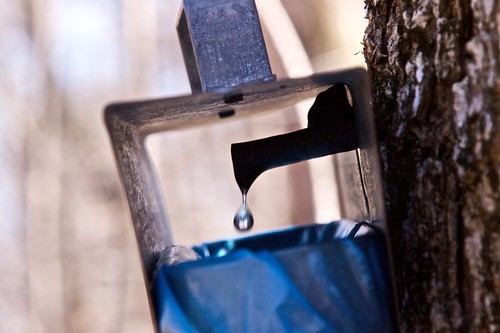Maple sap drips into a collection sack