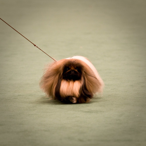Smallest Toy Dog Breeds : Pekingese toy dog breed standards breeds of small dogs