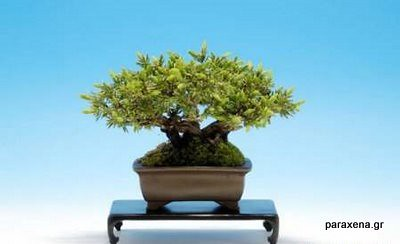 bonsai-trees-01