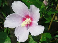 Rose of Sharon: Pink
