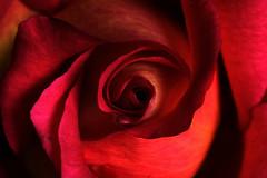 The Ubiquitous Rose Center Macro photo by [Anthony T.]