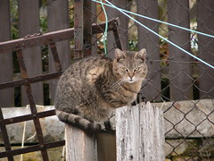 Tabby cat photo by abejorro34