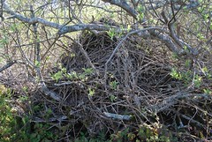 7e. Dusky-Footed Wood Rat den Photo
