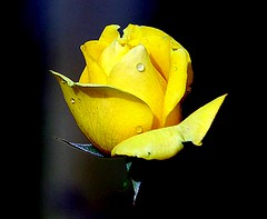 yellow rose photo by coral.hen4800