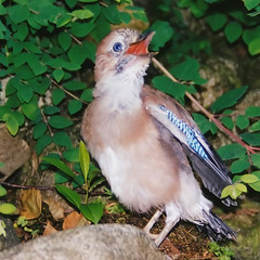 Eurasian Jay: Maaama ... where are you ??? photo by Batikart ... handicapped ... sorry for no comments