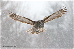 Great Gray Owl flying in snow photo by Greg Schneider (gschneiderphoto.com)
