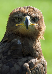 Steppe Eagle photo by Buggers1962