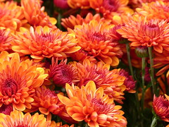 Chrysanthemums at a farm stand photo by lovesdahlias 1
