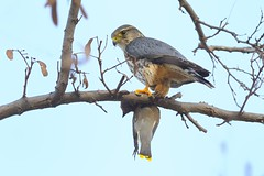 Merlin with Cedar Waxwing photo by chongjiayi
