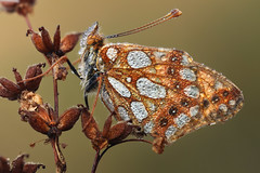 Queen of Spain Fritillary photo by johnhallmen