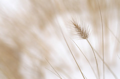 Ornamental grass photo by Cruise93