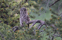 Great Gray Owl! photo by gainesp2003