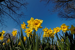 850F1630 - Daffodil's in windy day photo by Zoemies...