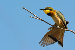 Little Bee-Eater having a good stretch photo by Dave Montreuil