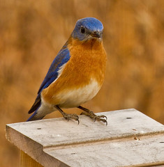 Eastern Bluebird photo by Lindell Dillon