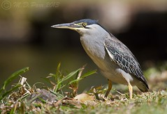 Striated Heron (Butorides striatus) photo by M.D.Parr