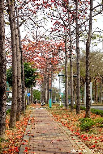 23_台南東豐路木棉花