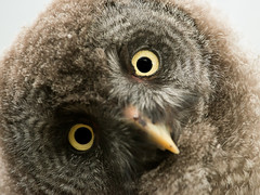 Great Grey Owl Chick photo by Old-Man-George