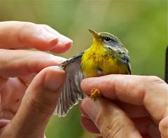 Bird Banding photo by Birdwatcher 1406(Bill Eaton)