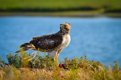 Red-tailed Hawk photo by Dream Source Studio