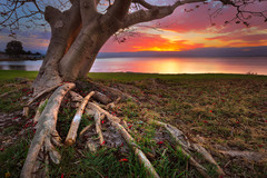 Lake Illawarra Tree photo by stevoarnold