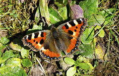 Butterfly (Small tortoiseshell) photo by wok smuggler