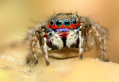 Rainbow Jumping Spider photo by karthik Nature photography