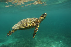 Hawksbill Turtle, Gili Tranwangan photo by Daniel Trim