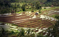 Rice Terraces . Jatiluwih Tabanan photo by Uhlenhorst