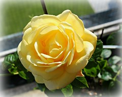 Rose on my Balcony . this morning.. photo by jackatlargs