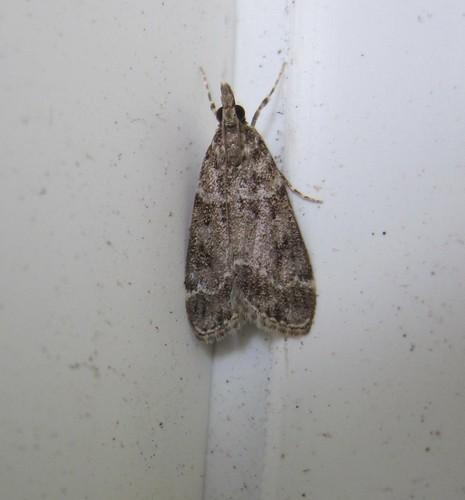 papillon de nuit- noctuelle à museau Hypena