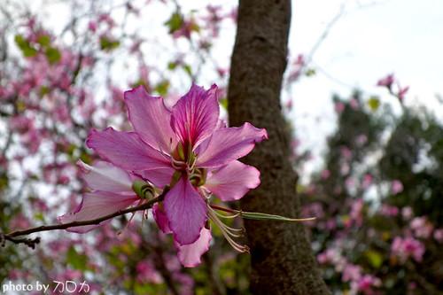 18_台南公園羊蹄甲