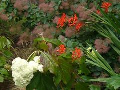 H. quercifolia 'Harmony' (2)