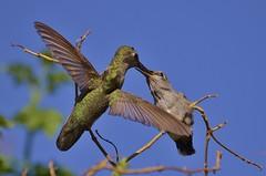 Annas Hummingbird Feeding Chick in Flight photo by BK Barnett..Thank you for taking the time!