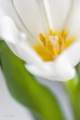 white tulip photo by ~Mirka Wolfova~
